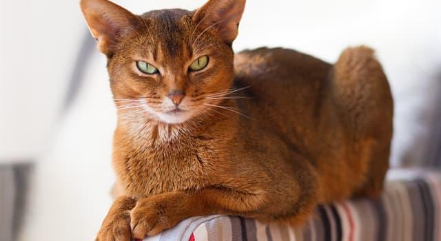 Natur Wissensfrage: Welche Katzenrasse ist auf dem Foto dargestellt?