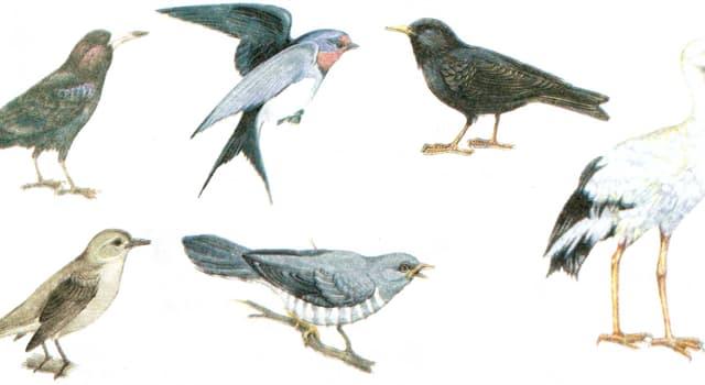 Natur Wissensfrage: Welcher dieser Vögel ist ein Zugvogel mit dem längsten Zugweg?