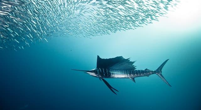 Natur Wissensfrage: Welcher Fisch schwimmt am schnellsten?
