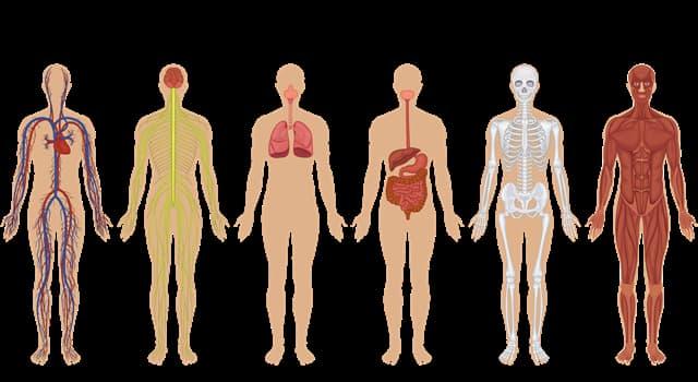 nauka Pytanie-Ciekawostka: Gdzie w ludzkim ciele znalazłbyś tarczycę?