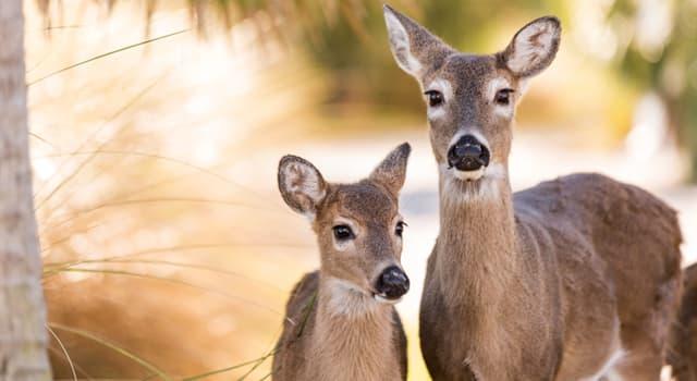 natura Pytanie-Ciekawostka: Jak nazywa się samica jelenia?