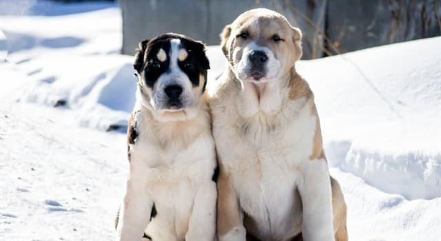 природа Запитання-цікавинка: Як по-іншому називаються собаки породи алабай?
