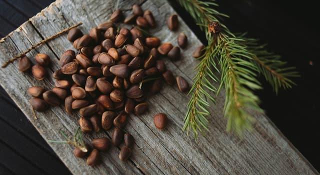 природа Запитання-цікавинка: Яка країна є найбільшим виробником кедрових горіхів в світі?