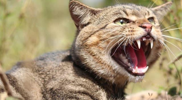natura Pytanie-Ciekawostka: Który z nich nie jest rodzajem dzikiego kota?
