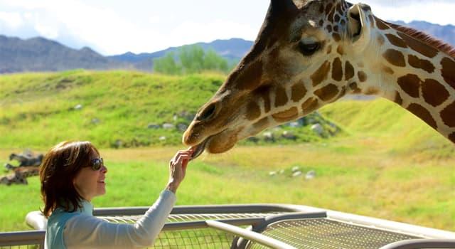 natura Pytanie-Ciekawostka: Które zwierzę oprócz żyrafy wywodzi się z rodziny żyrafowatych?