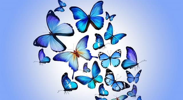 Natur Wissensfrage: Welcher dieser Schmetterlinge gilt als der Schmetterling mit der größten Flügelspannweite?
