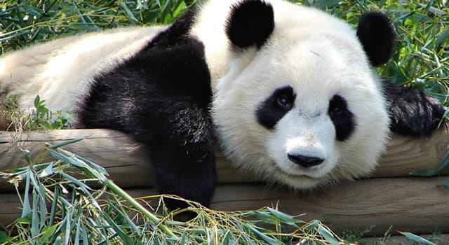 natura Pytanie-Ciekawostka: Jaka trawa jest ulubionym pokarmem pandy?
