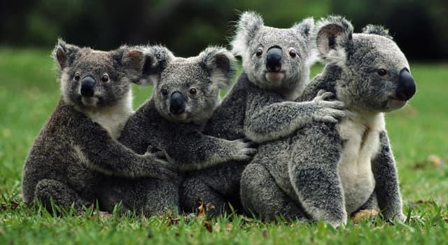 natura Pytanie-Ciekawostka: Jakiego drzewa liście są podstawą diety Koala?