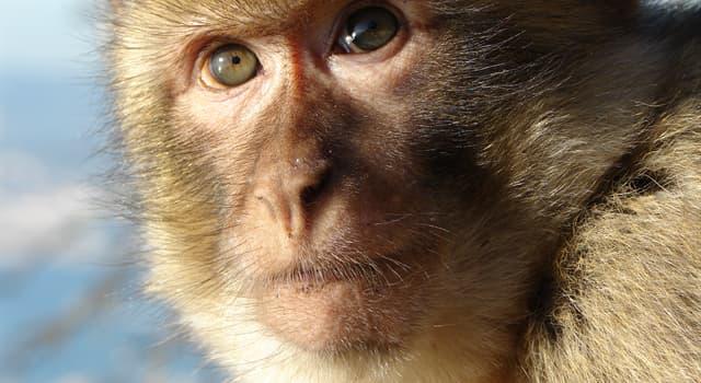 Natur Wissensfrage: Wer sind die größten lebenden Primaten?