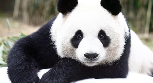 Natur Wissensfrage: Wie viele Stunden ungefähr brauchen Pandas zum Essen?