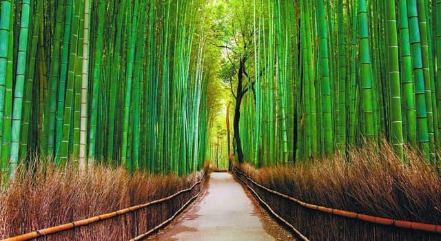 Natur Wissensfrage: Zu welcher Pflanzenfamilie gehört Bambus?