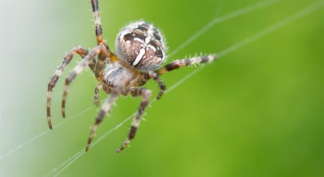 Наука Запитання-цікавинка: Що у павуків замість крови?