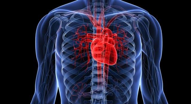 nauka Pytanie-Ciekawostka: Z ilu części składa się ludzkie serce?