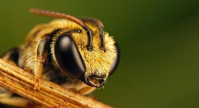 natura Pytanie-Ciekawostka: Ile par skrzydeł ma pszczoła?