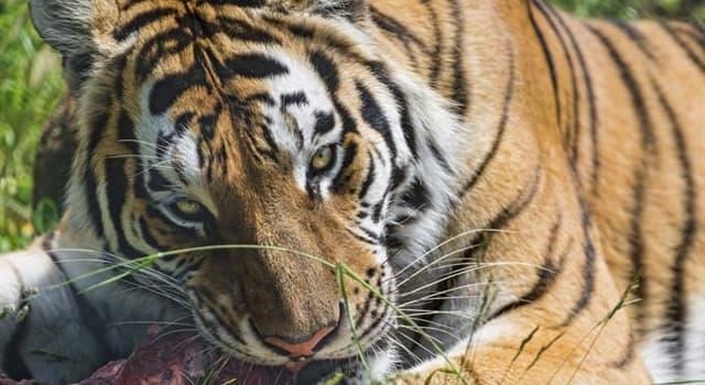 natura Pytanie-Ciekawostka: Jak nazywa się grupa tygrysów?