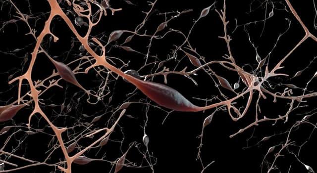 nauka Pytanie-Ciekawostka: Jaki nerw jest najdłuższym w ciele człowieka?