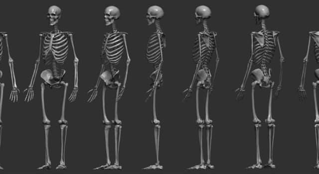 nauka Pytanie-Ciekawostka: Które kości w ludzkim ciele potrafią być prawdziwe, wolne i rzekome?