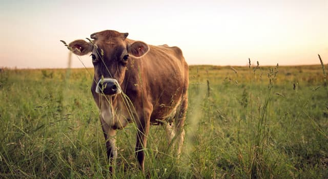природа Запитання-цікавинка: Скільки зубів у молодих корів?