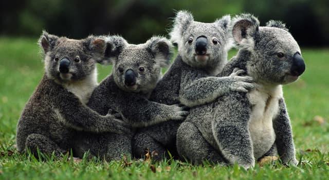 Natur Wissensfrage: Welcher Baum gibt das Hauptnahrungsmittel für Koalas?