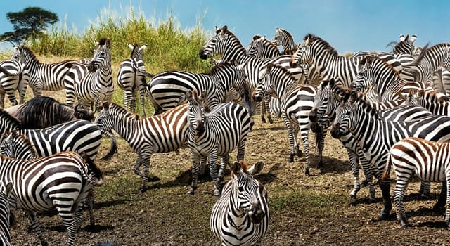 Nature Trivia Question: What is a grouping of zebras called?