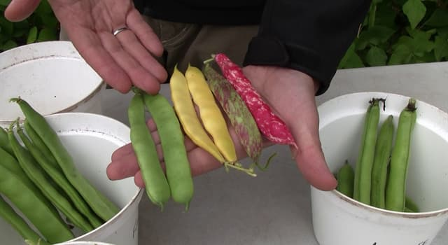 Nature Trivia Question: What is the other name of a string bean?