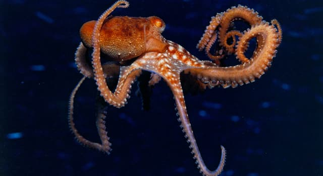Nature Trivia Question: Which is not true about an octopus?