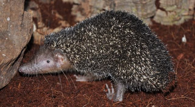 Nature Trivia Question: Which island is the greater hedgehog tenrec endemic to?