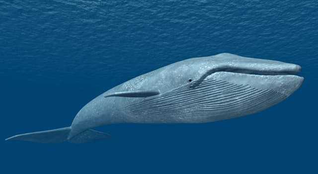 natura Pytanie-Ciekawostka: Z jako prędkością przybiera na wadze noworodek płetwala błękitnego w ciągu pierwszego roku życia?