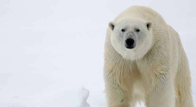 natura Pytanie-Ciekawostka: Co jest naturalnym środowiskiem niedźwiedzi polarnych?
