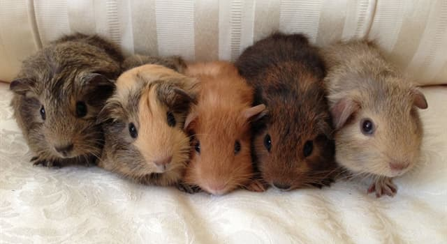 Nature Trivia Question: From which continent did the guinea pig originate?