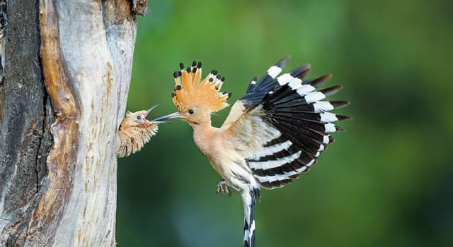 Nature Trivia Question: In birds, which of these is the most widespread species of the genus 'Upupa'?