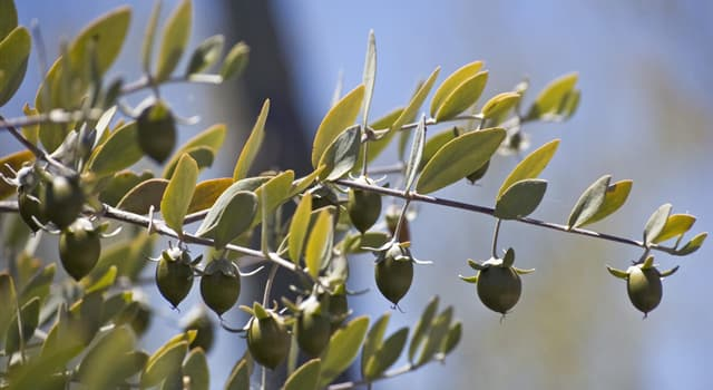 Nature Trivia Question: Jojoba oil which is widely used in cosmetics is extracted from which part of the plant?
