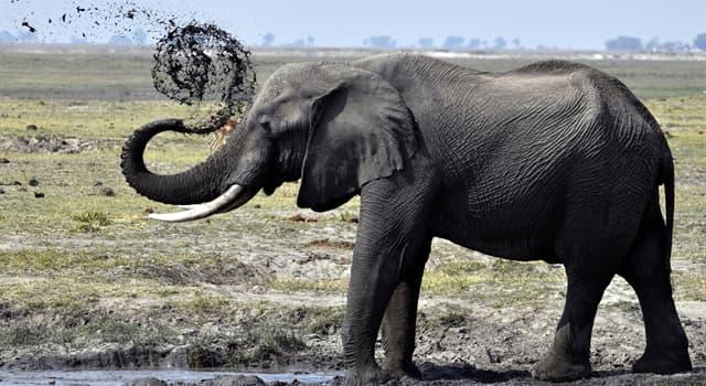 природа Запитання-цікавинка: Як звали слониху, яка прожила в Японії найбільше час?