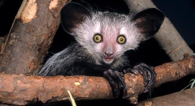 natura Pytanie-Ciekawostka: Skąd pochodzi największy ssak prowadzący nocny tryb życia, Aj-aj?