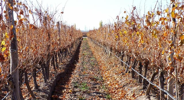 Culture Trivia Question: What is Chile's national red wine?