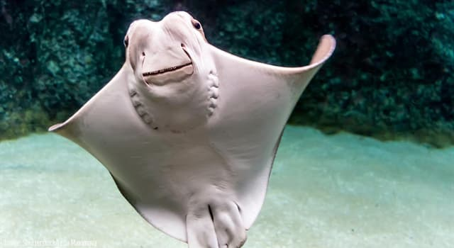 Nature Trivia Question: What is the average lifespan of the сownose ray?