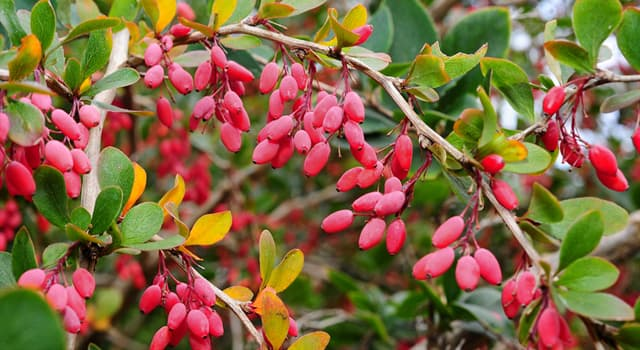 Nature Trivia Question: Which berries are in the picture?