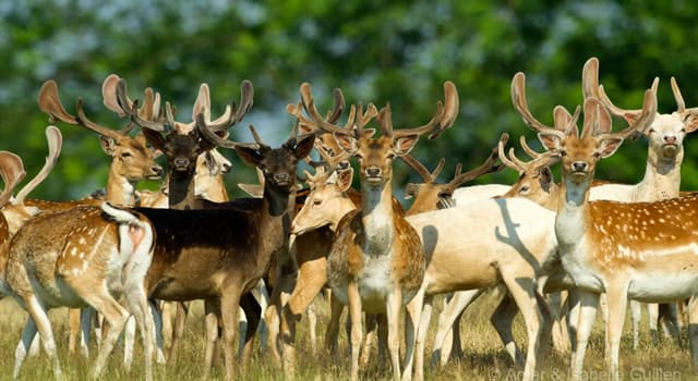 Nature Trivia Question: Which deer is also called milu?