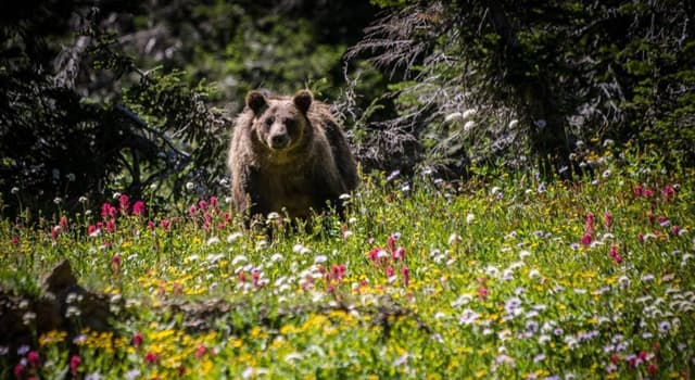 Nature Trivia Question: Which describes the correct conservation status of the American brown bear?