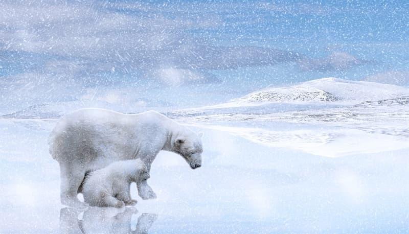 Naturaleza Pregunta Trivia: ¿Por qué los osos polares no cazan a los pingüinos?