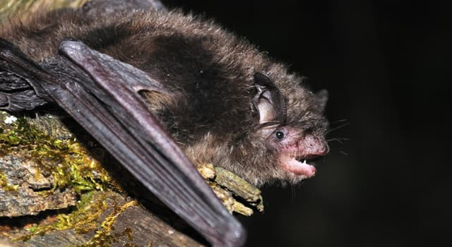 Nature Trivia Question: As of 2019, which of these bat species is not endangered?