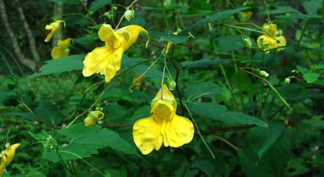природа Запитання-цікавинка: Бальзамін - застаріла назва якої рослини?