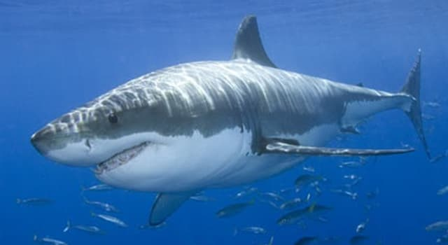 Nature Trivia Question: By what name is the shark 'Isistius brasiliensis' better known in English?