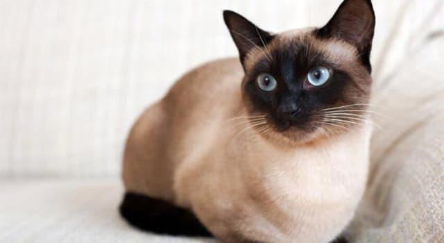 natura Pytanie-Ciekawostka: Co to za rasa kota na obrazku?