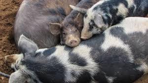 Cultura Pregunta Trivia: ¿Cuál de las siguientes razas no corresponde al ganado porcino?