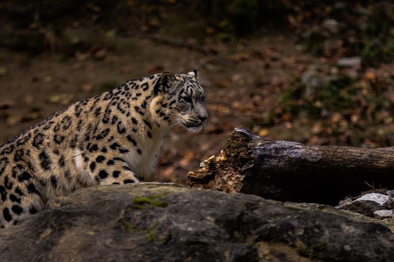 Naturaleza Pregunta Trivia: ¿Cuál es el mamífero que sufre la mayor amenaza de extinción en la actualidad?