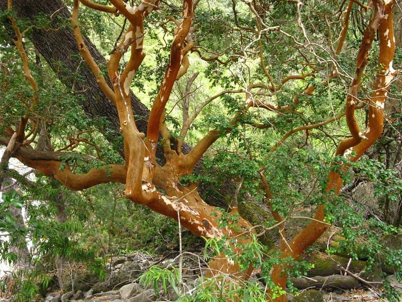 Cultura Pregunta Trivia: ¿Cuál es el nombre de la especie arbórea que se ve en la imagen?