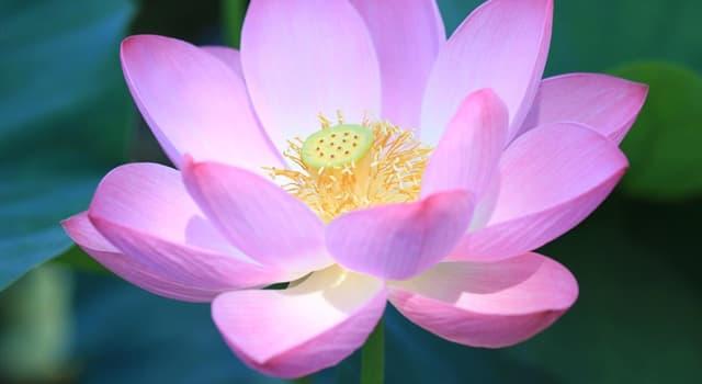 Geographie Wissensfrage: Der Lotus ist das nationale Symbol für welches Land?