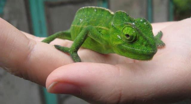 natura Pytanie-Ciekawostka: Dlaczego kameleony zmieniają kolor?