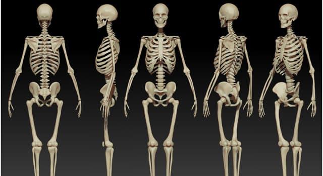 nauka Pytanie-Ciekawostka: Gdzie w ludzkim ciele można znaleźć łopatkę?